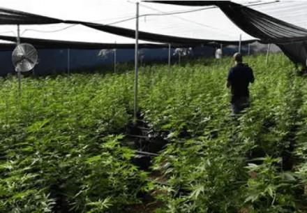 10 עצורים בגין גידול מאות קג מריחואנה